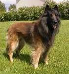 ベルジアン・シェパード・ドッグ・タービュレン(英:Belgian Shephrd Dog Tervueren)